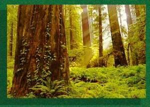 ancient redwoods - green border